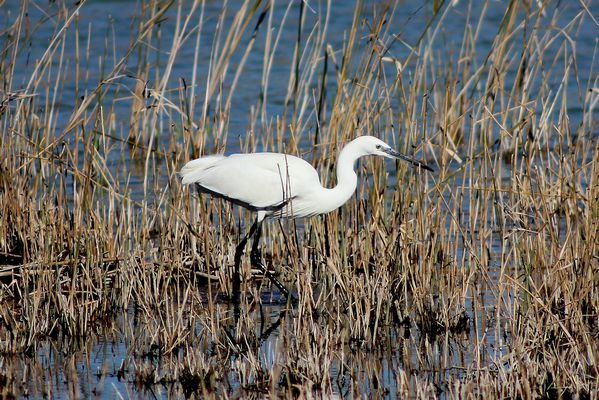 Little Egret by Mary Brazier©