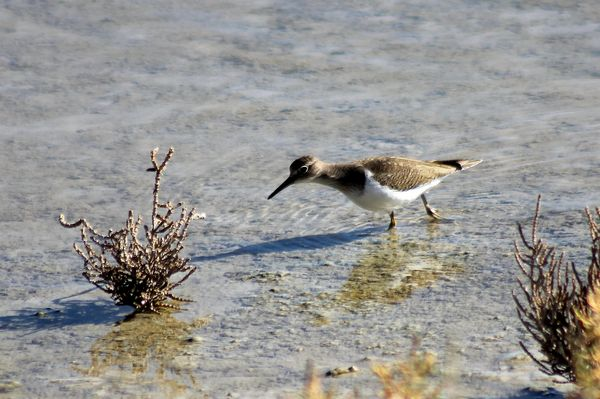 Common Sandpiper by Mary Brazier©