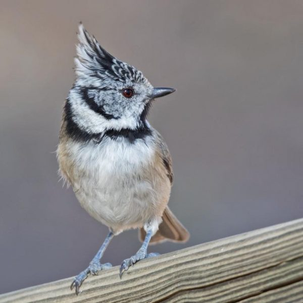 Crested Tit by Paul Coombes©