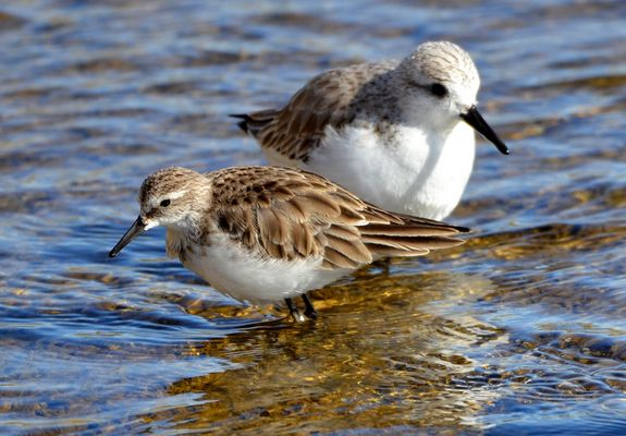 Little Stint (winter) by Martin Harrison©