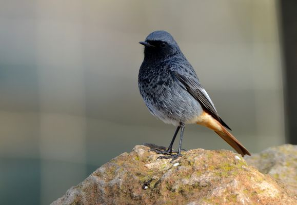 Black Redstart by Martin Harrison©