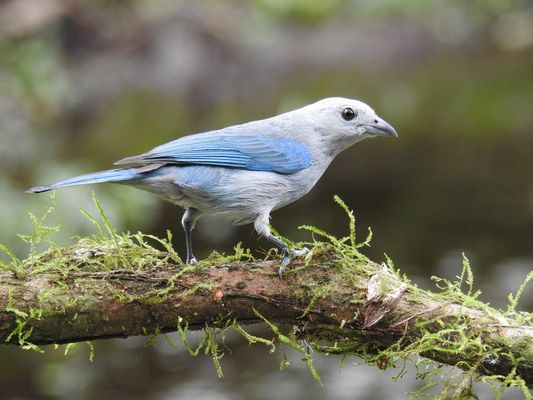 †Blue grey Tanager by Dave Eddy©