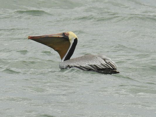†Brown Pelican by Dave Eddy©