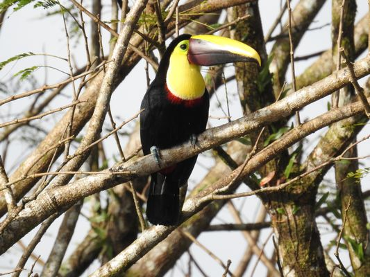 Chestnut mandibled Toucan by Dave Eddy©