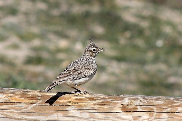 Crested Lark by John Brazier©