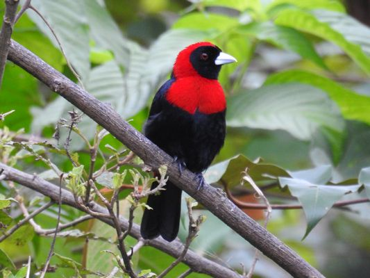 Crimson collared Tanager by Dave Eddy©