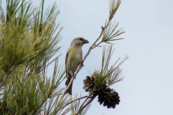 Crossbill (female) by Mary Brazier©