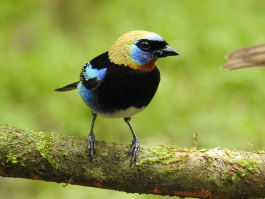 Golden hooded Tanager  by Dave Eddy©