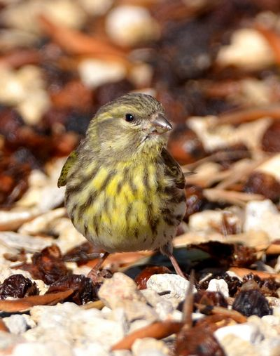 Serin by Martin Harrison©