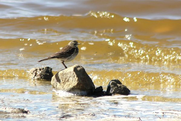 Water Pipit by Mary Brazier©
