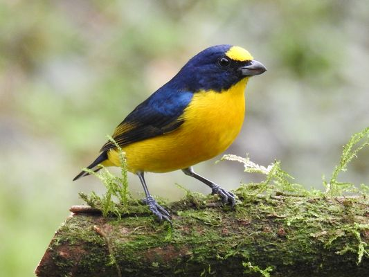 Yellow throated Euphonia by Dave Eddy©