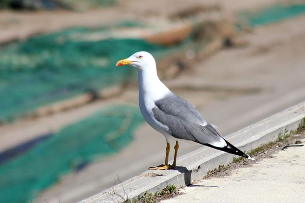 Yellow legged Gull by Mary Brazier©