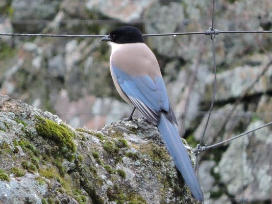 Azure winged Magpie by Barry Chambers©
