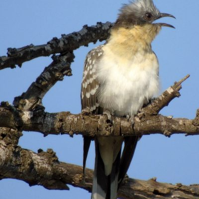 Great Spotted Cuckoo by Greta Owen©