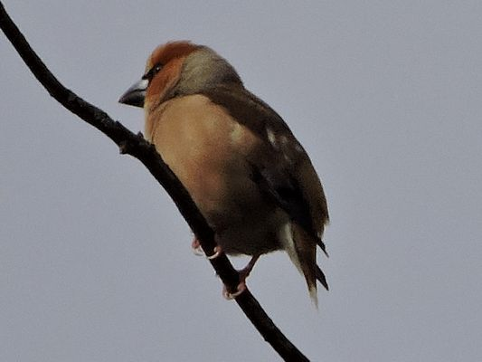 Hawfinch by Barry Chambers©