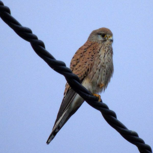 Kestrel by Greta Owen©