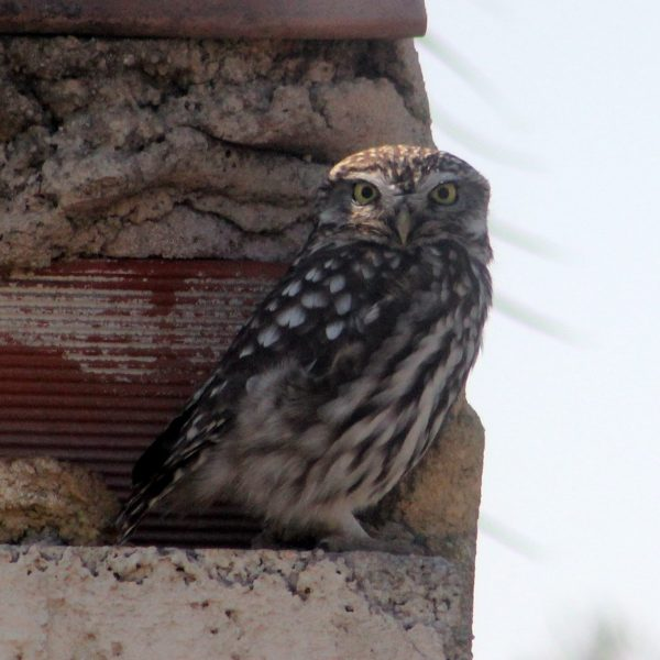 Little Owl by Greta Owen©