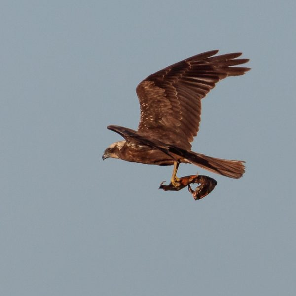 Marsh Harrier by Bob Bowhay©