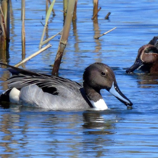 Pintail and Teal by Greta Owen©