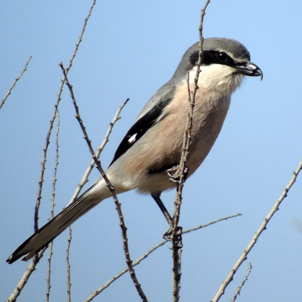 Southern Grey Shrike by Greta Owen©
