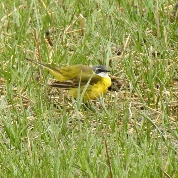 Yellow Wagtail by Nigel Bentley©