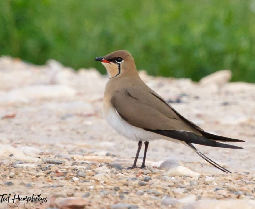Collared Pratincole by Ted Humphreys©