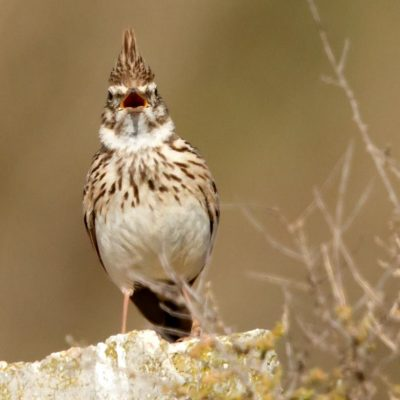 Crested Lark by Ted Humphreys©