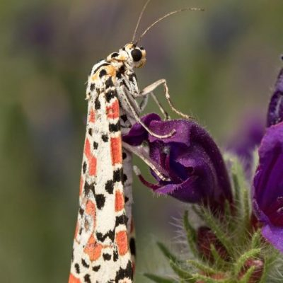 Crimson Speckled Flunkey by Paul Coombes©