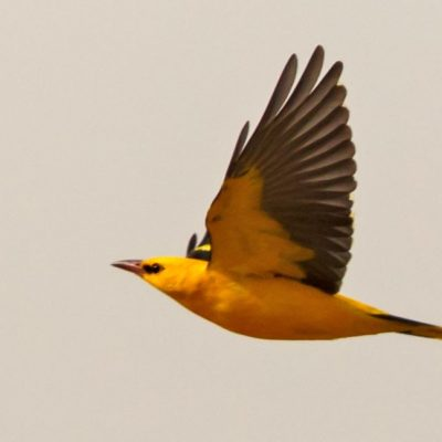 Golden Oriole by Ted Humphreys©