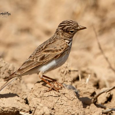Lesser Short toed Lark by Ted Humphreys©
