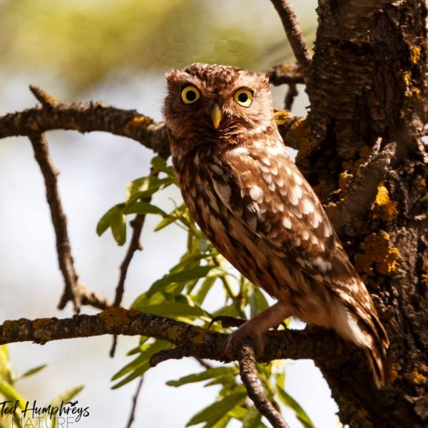Little Owl by Ted Humphreys©