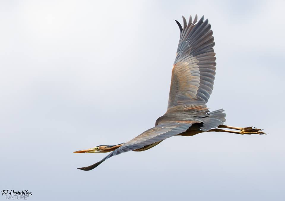 Purple Heron by Ted Humphreys©