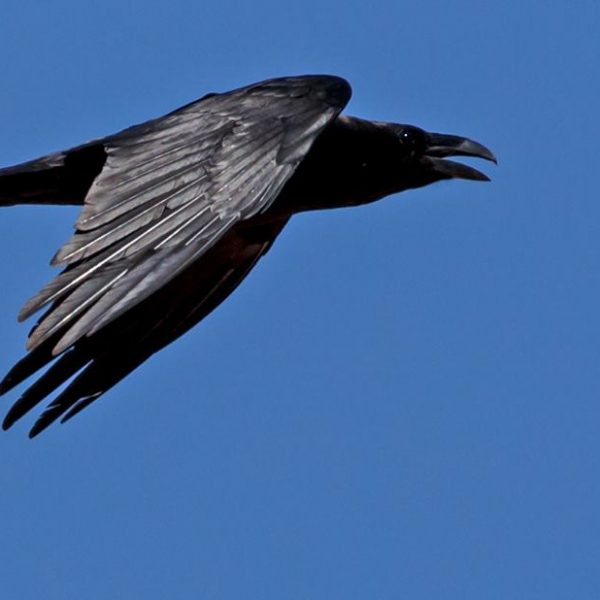 Raven by Ted Humphreys©