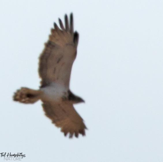 Short toed Eagle (record shot) by Ted Humphreys©
