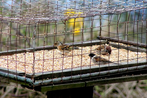 Brambling, Reed Bunting and Tree Sparrow by Mary Brazier©