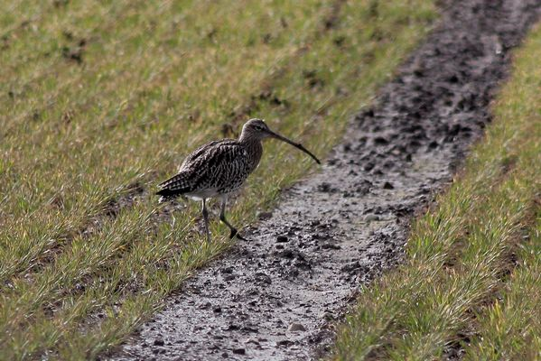 Curlew by Mary Brazier©