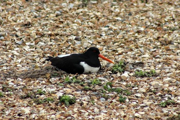 Oystercatcher by Mary Brazier©