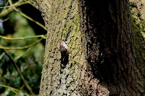 Treecreeper by Mary Brazier©