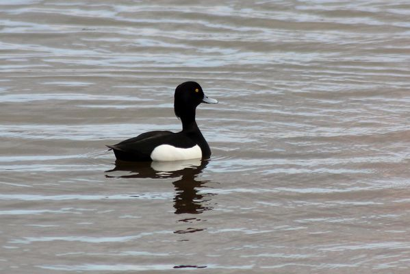 Tufted Duck by Mary Brazier©