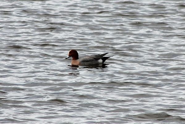 Wigeon by Mary Brazier©