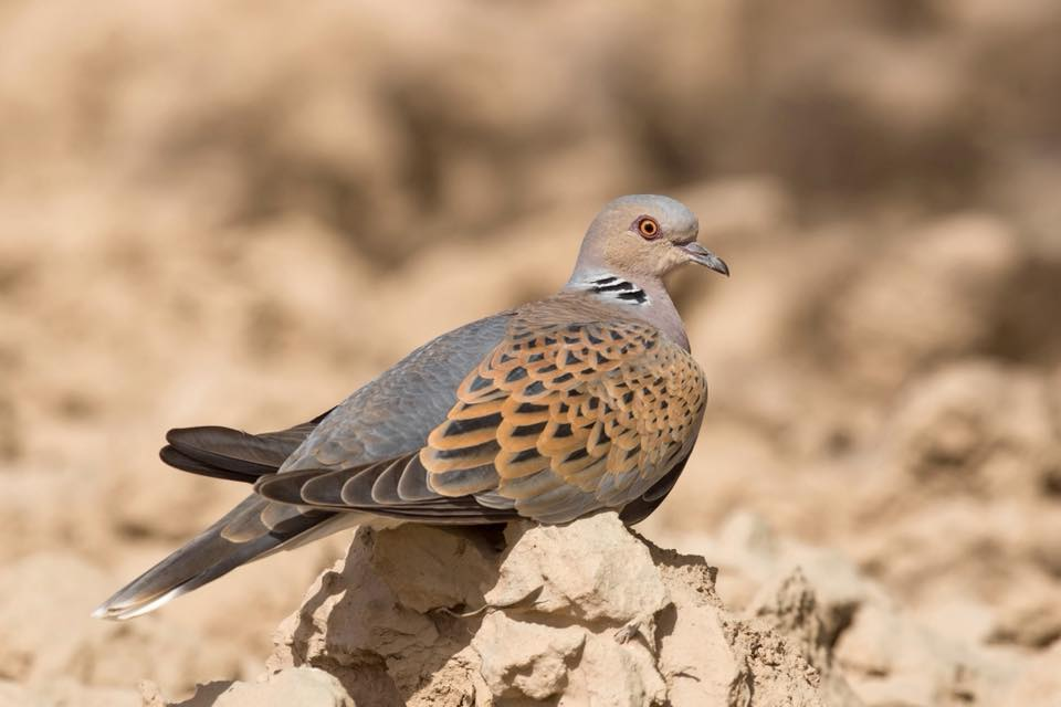 Turtle Dove by Paul Coombes©