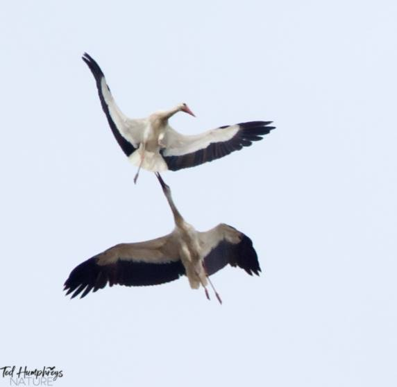 White Storks by Ted Humphreys©