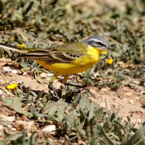 Yellow Wagtail by Ted Humphreys©