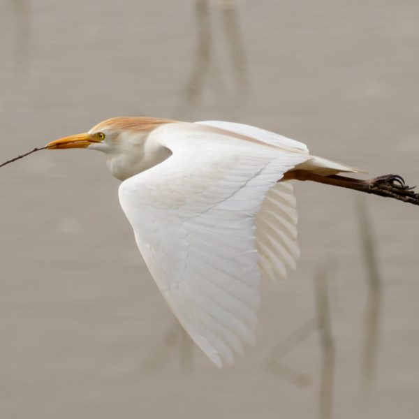 Cattle Egret by Michael Norton©