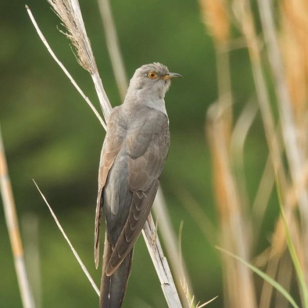 Cuckoo by Paul Coombes©