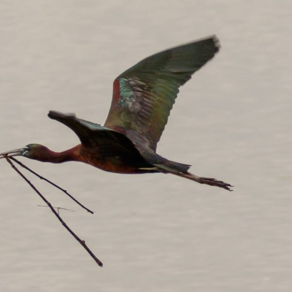 Glossy Ibis by Michael Norton©