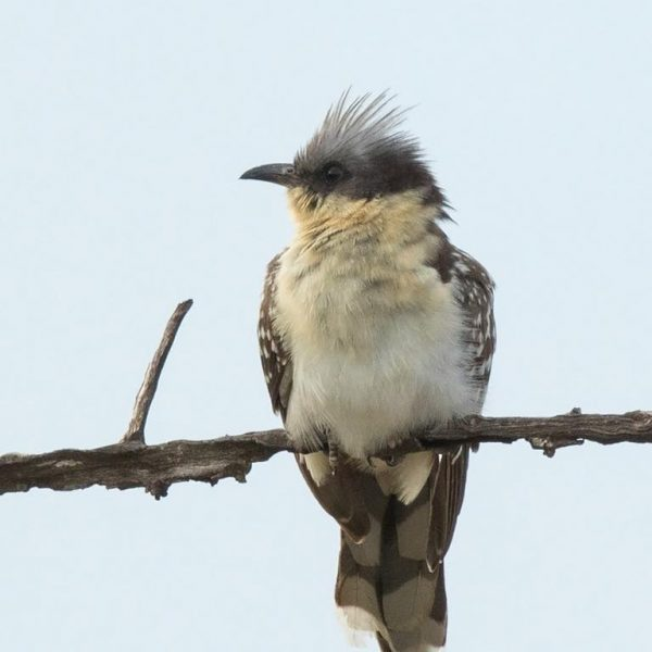 Great Spotted Cuckoo by Paul Coombes©