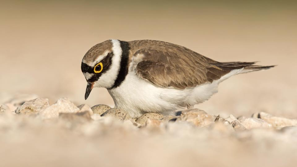 Little Ringed Plover by Paul Coombes©