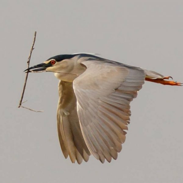Night Heron by Michael Norton©