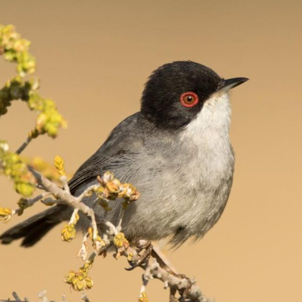 Sardinian Warbler by Paul Coombes©